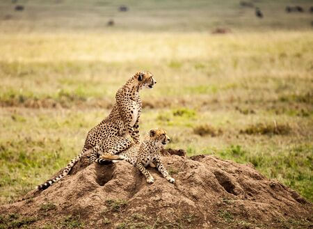 cheetah family in wild, wildlife in nature