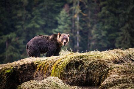 grizzly bear, wet body, standing near the water's edge 版權商用圖片
