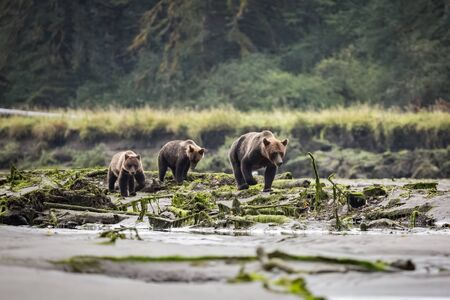 Grizzly bear family walks in the forest near the water in nature.