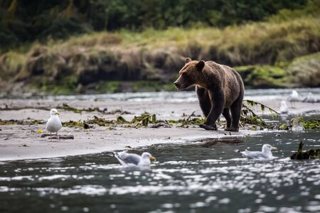 Grizzly bear walk in the forest near the water in nature. 版權商用圖片