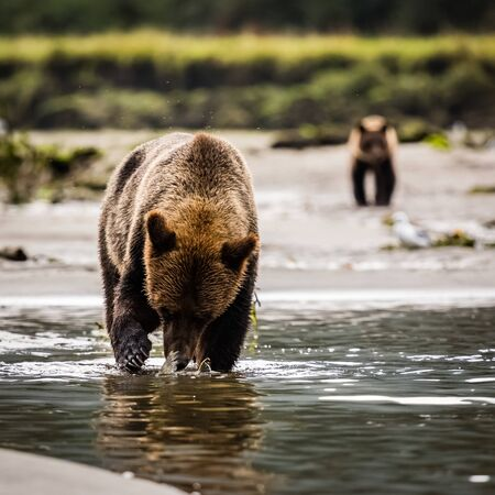 grizzly bear catching fish in the river, wildlife in nature 版權商用圖片