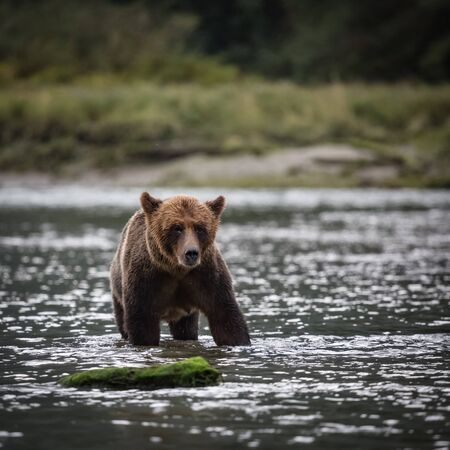 grizzly bear standing in the river, wildlife