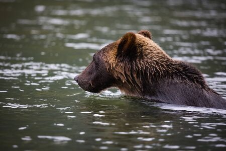 grizzly bear swim in river, wildlife in nature