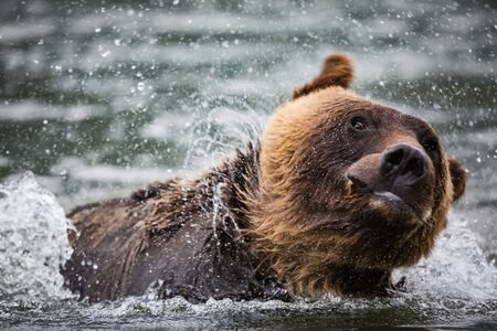 Grizzly bears flick the water on their bodies. 版權商用圖片
