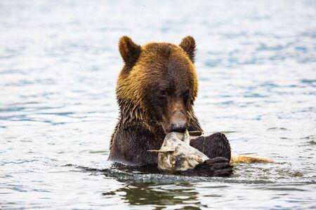 brown bear eating fish in river, bear in nature, wildlife