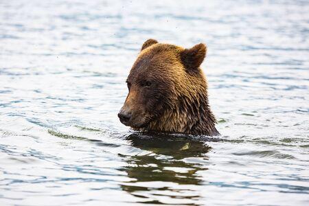 brown bear in river, bear in nature, wildlife