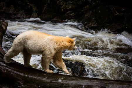 spirit bear in river, rare subspecies of the American black bear, nature, wildlife