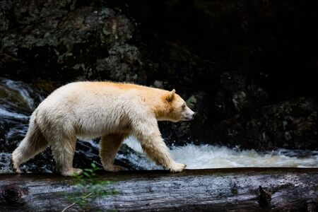 spirit bear in river, the bear is rare subspecies of the American black bear, nature, wildlife