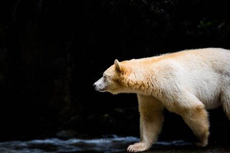 Spirit Bear (Ursus americanus kermodei), the bear is rare subspecies of the American black bear, nature, wildlife