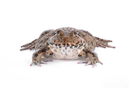 Frog isolated on white Stock Photo