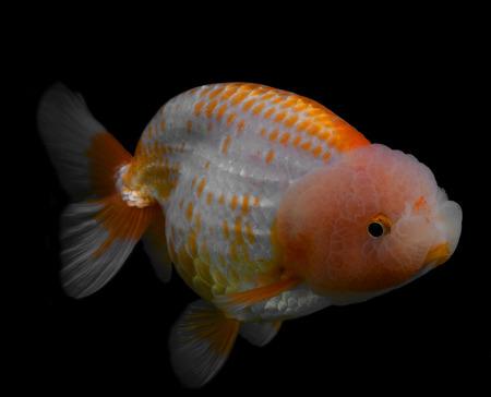 aquarium hobby: Goldfish isolated on black background.