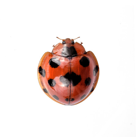 Ladybug insect isolated on white background