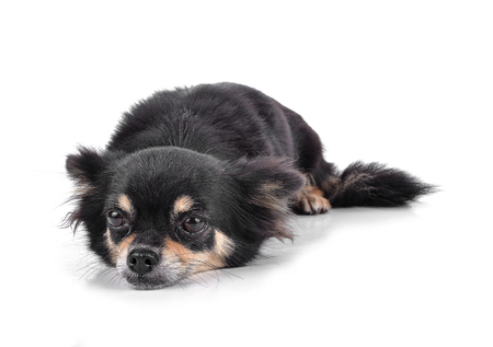 Chihuahua isolated on white background