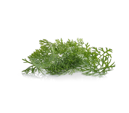 cutting: Dill isolated on white
