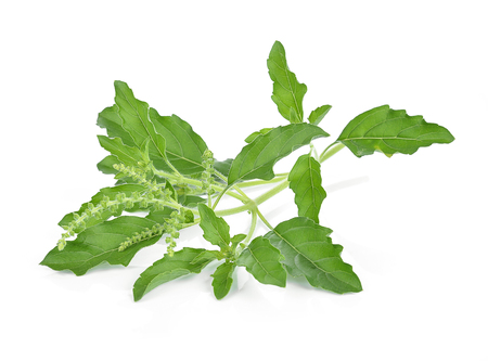 Holy basil or tulsi leaves isolated over white background