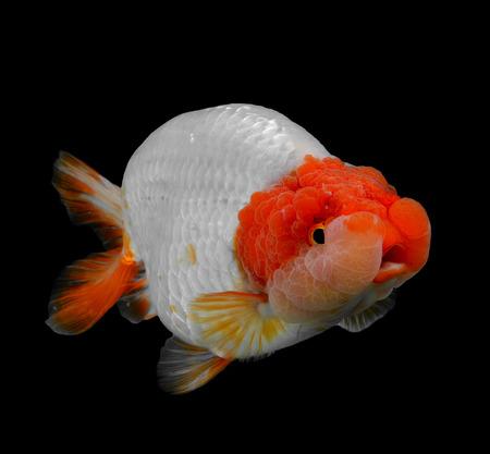 Goldfisch isoliert auf schwarzem Hintergrund