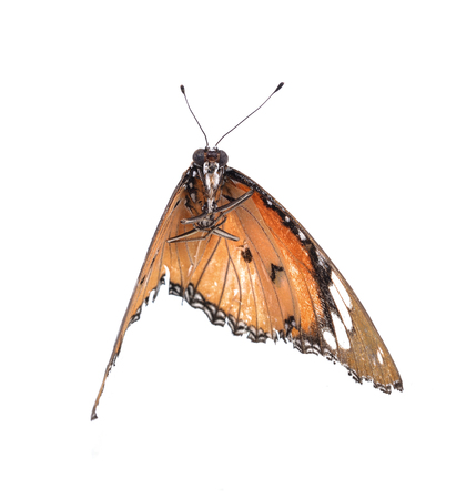 Orange  butterfly isolated on white background