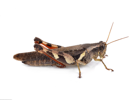Grasshopper isolated on white background 写真素材