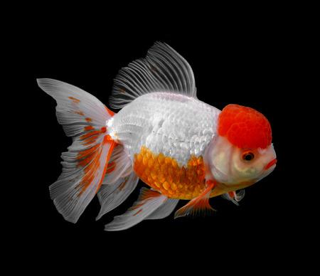 Goldfish isolated on black background (fish)
