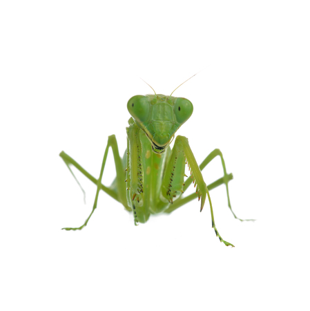 Female Praying Mantis on  white background Archivio Fotografico - 106230768