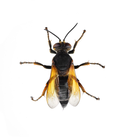 Wasp isolated on a white background