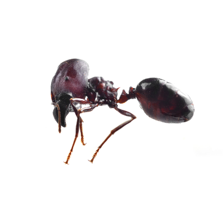 black ant isolated on white background Фото со стока