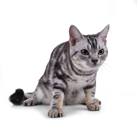 American Shorthair cat on white Stock fotó