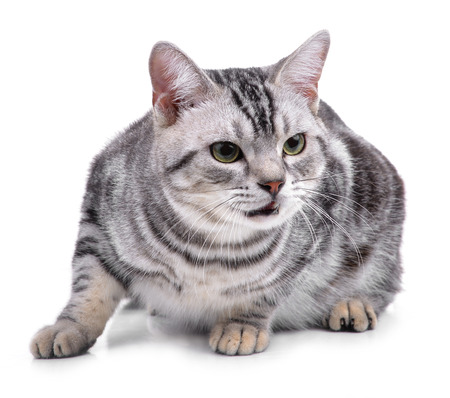 American Shorthair cat on white Stock Photo - 105943258