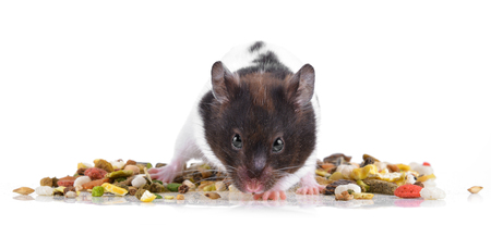 hamster eating some food on a white background Stock Photo