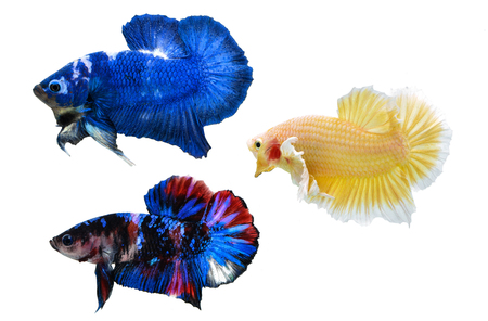 fighting fish on white background. Stock Photo