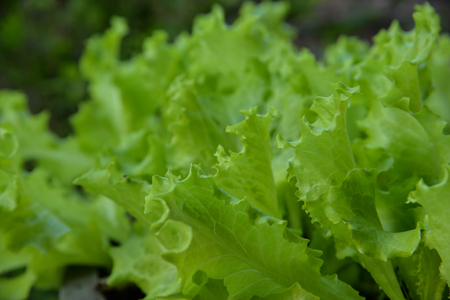 Fresh Lactuca sativa leaf in vegetable garden. Stock Photo
