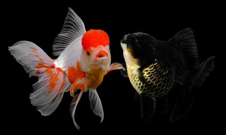 Black goldfish isolated on background