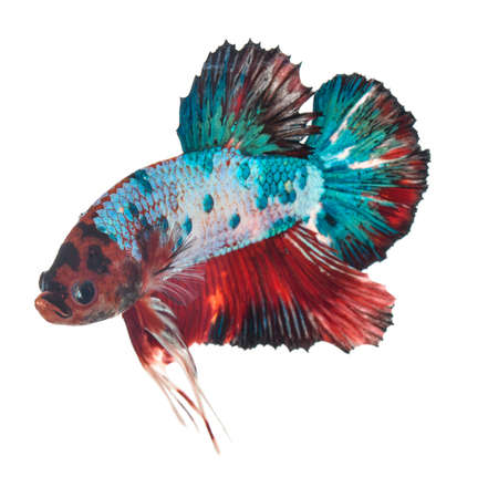 Fighting fish isolated from white background