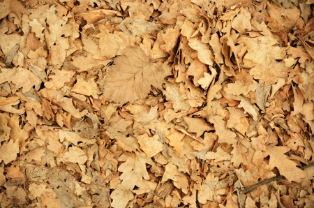 Dry oak leaves on the ground for background photo