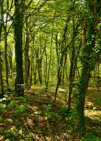 Deciduous forest with lush green foliage photo