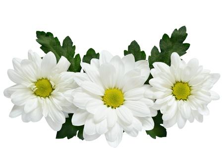 white daisy: Three daisies isolated on white Stock Photo