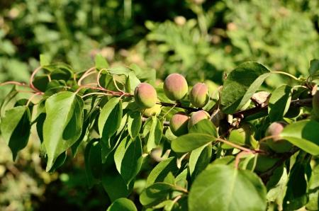 Unripe apricots on a branch photo