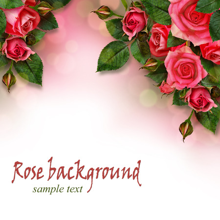 Pink rose flowers composition on white background photo