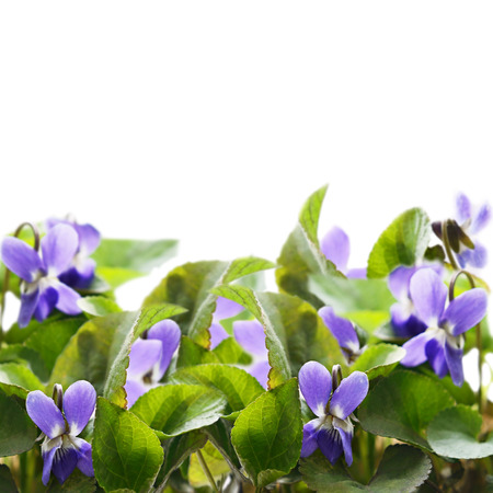 Violet flowers on white background