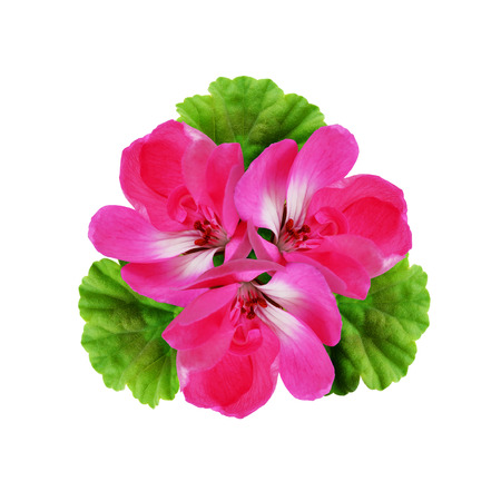 rotund: Geranium flowers composition isolated on white