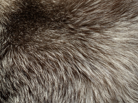 silver fox: Silver fox fur texture for background Stock Photo
