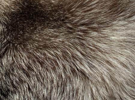 silver fox: Textura de piel de zorro de plata para el fondo