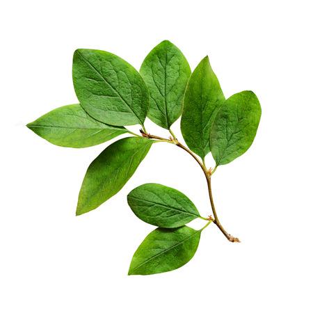 Groene bladeren geïsoleerd op wit Stockfoto