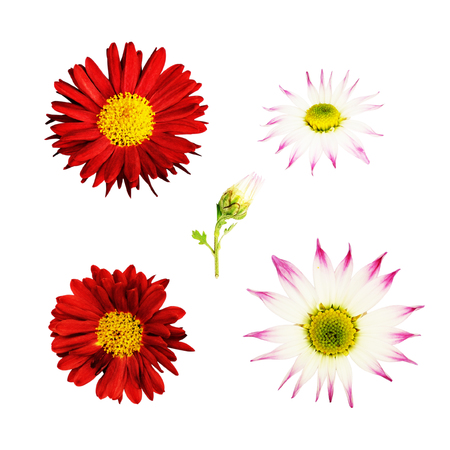 aster flowers: Aster flowers isolated on white