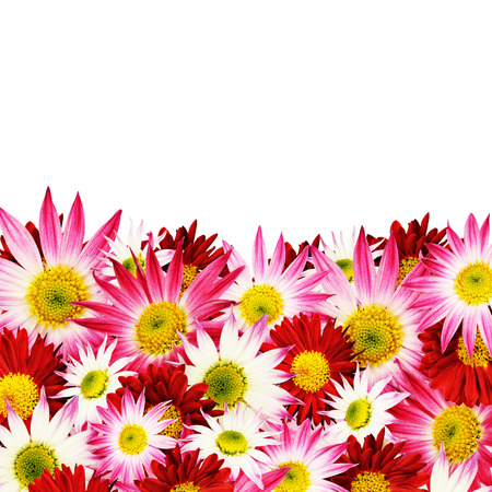 aster flowers: Aster flowers border isolated on white Stock Photo