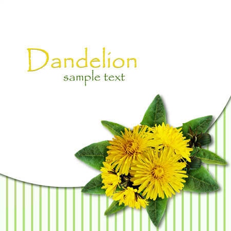 rotund: Dandelion flowers bouquet on white and striped background Stock Photo