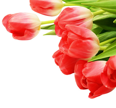 red tulip: Red tulip flowers isolated on white