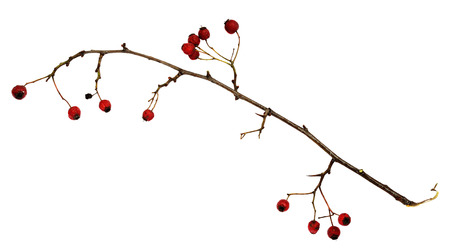 shrunken: Dry twig with berries isolated on white Stock Photo