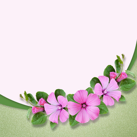 convolvulus: Composition with bindweed flowers on pink background