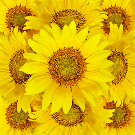 Closeup of sunflowers for background